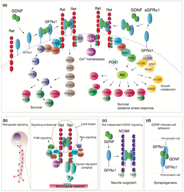 An overview of glial cell line-derived neurotrophic factor (GDNF) signaling.