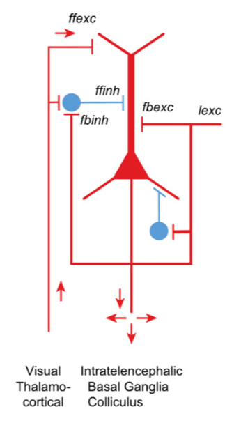 a schematic diagram of currently established elementary circuit  configurations  the red triangle represents the cell body of a pyramidal  cell
